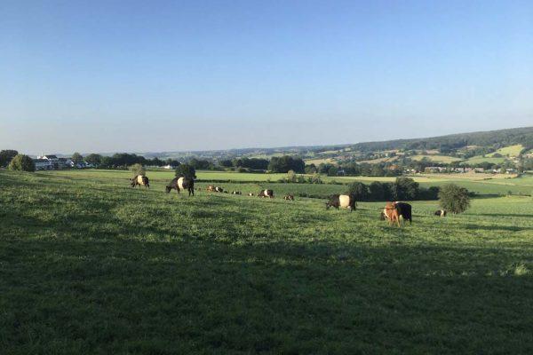 Koeien uitzicht heuvels